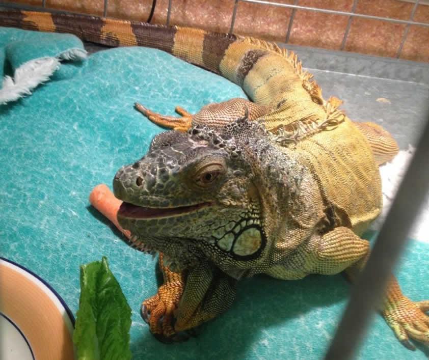 iguana Horsebridge Vets