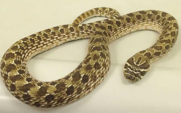Snake at Horsefiled Veterinary Practice in Hailsham
