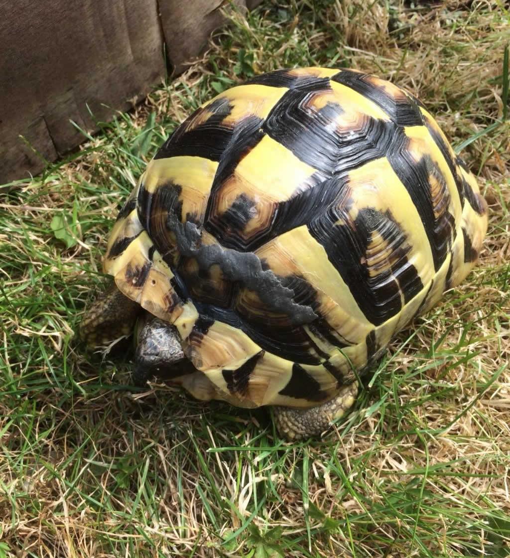 Hermann's tortoise at Horsefiled Veterinary Practice in Hailsham