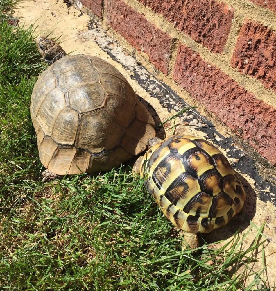 Tortoises at Horsefield Veterinary Practice in Hailsham