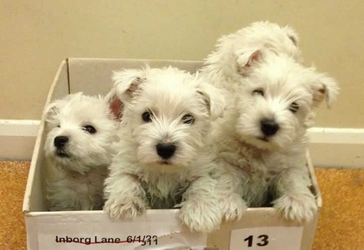 Puppies at Horsefield Veterinary Practice in Hailsham