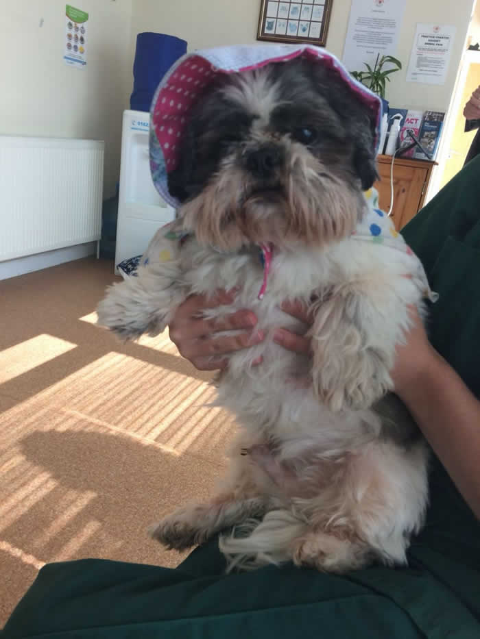 Shi tzu wearing a hat at Horsefield Veterinary Practice in Hailsham